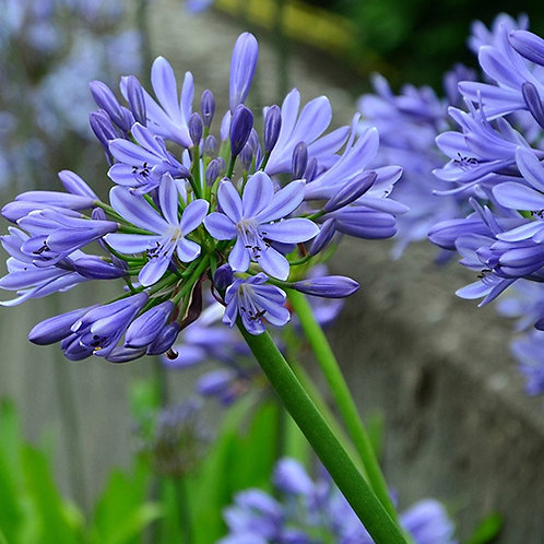 Agapanthus Baby Pete PBR