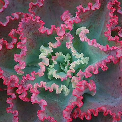 Echeveria Dick's Pink
