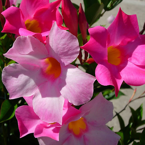 Mandevilla Pretty Rose Pink