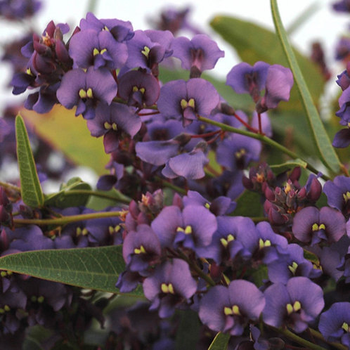 Hardenbergia Purple Spray