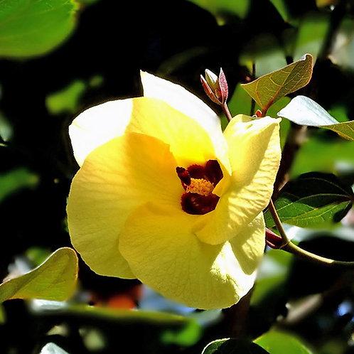 Cottonwood Hibiscus