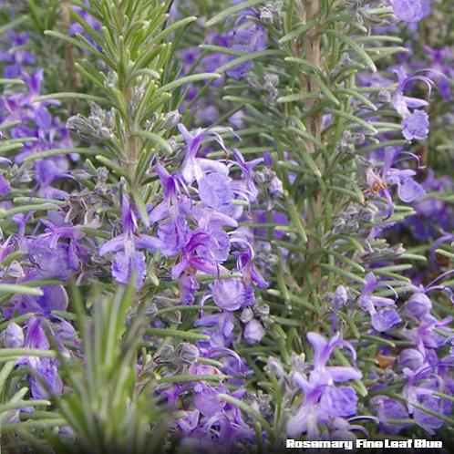 Rosemary Fine Leaf Blue