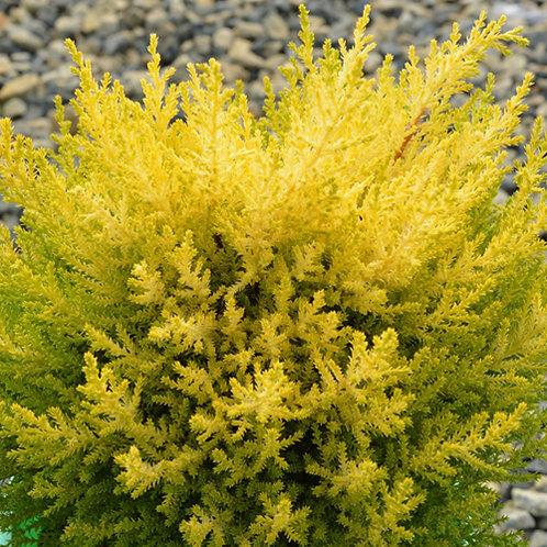 Cupressus Lemon Scent
