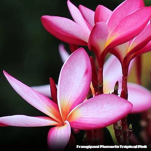 Frangipani Plumeria Tropical Pink