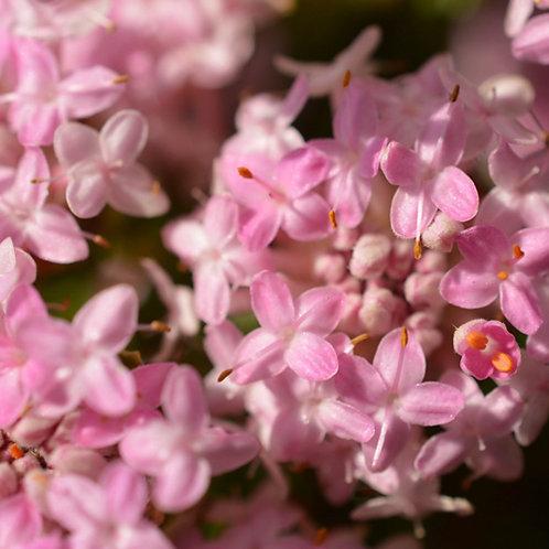 Pimelia Ferruginae Pink Rice Flower