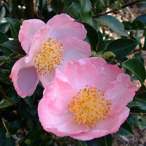 Camellia Plantation Pink