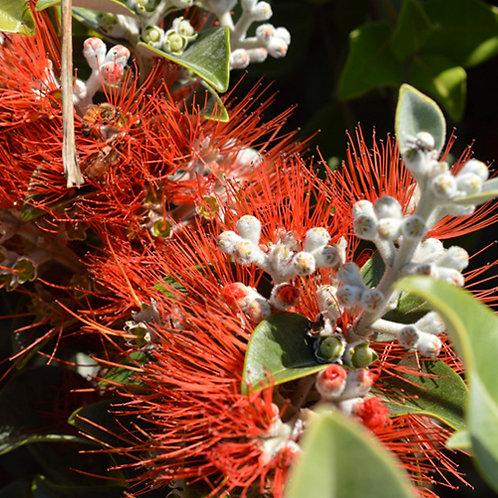 Metrosideros Spring Fire (NZ Christmas Bush)