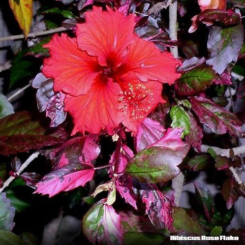 Hibiscus Rose Flake