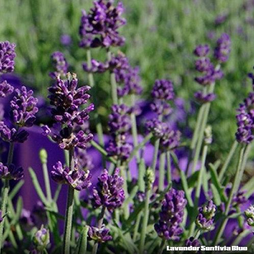Lavender - Sentivia Blue