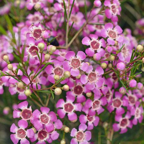 Geraldton Wax Chamelaucilum Purple Pride
