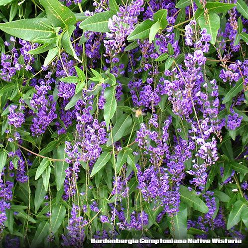 Hardenbergia Comptoniana Native Wisteria