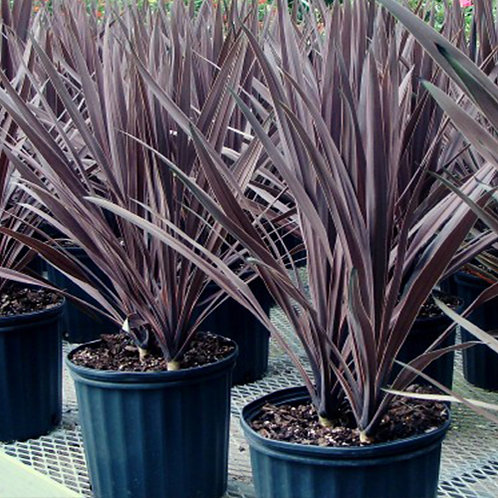 Cordyline Australis Black Knight