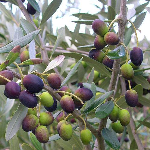 Olive Tree Olea Europaea Frantoio