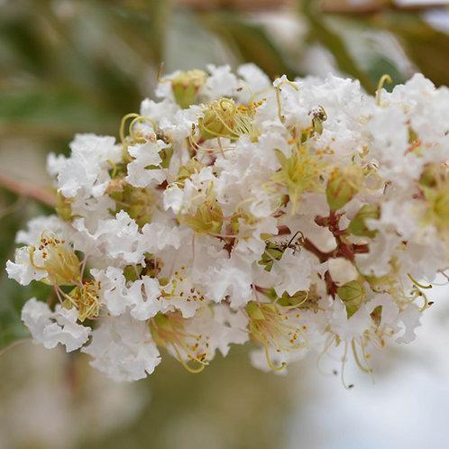 Crepe Myrtle (Lagerstroemia Indica Natchez)