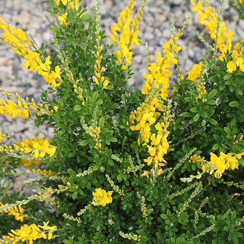 Genista Yellow Imp