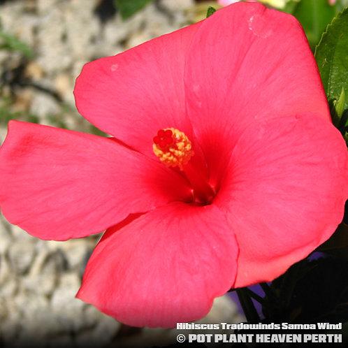 Hibiscus Tradewinds Samoa Wind