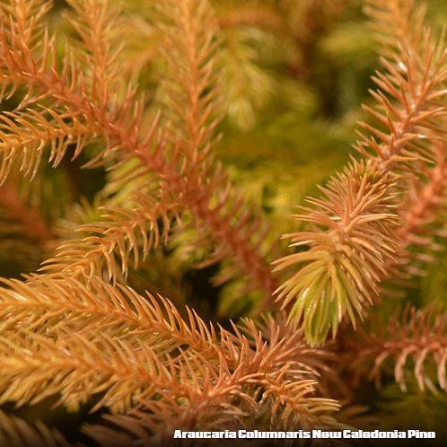 Araucaria Columnaris New Caledonia Pine