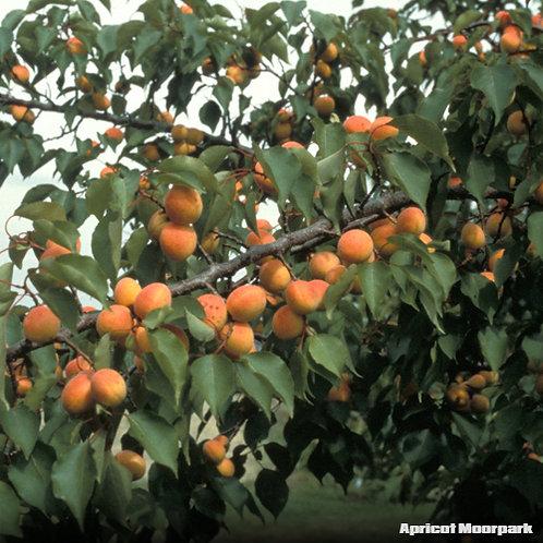 Apricot Moonpark
