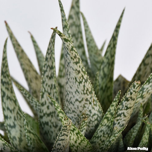 Aloe Polly