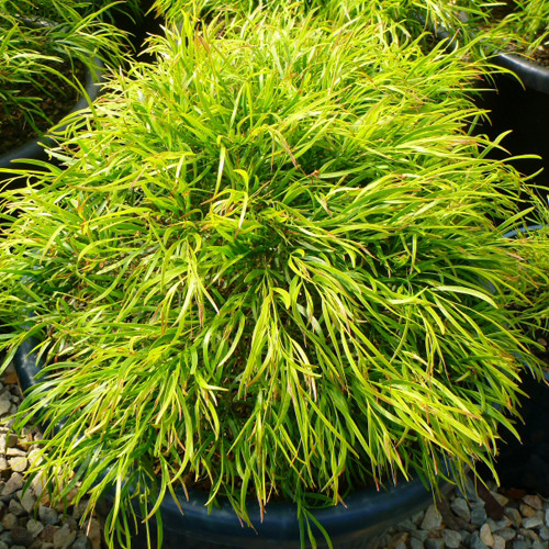 Acacia Cognata Fettuccine