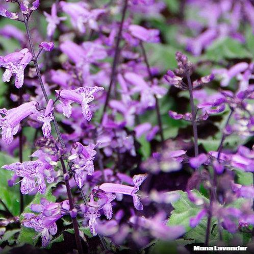 Lavender - Plectranthus Mona Lavender PBR