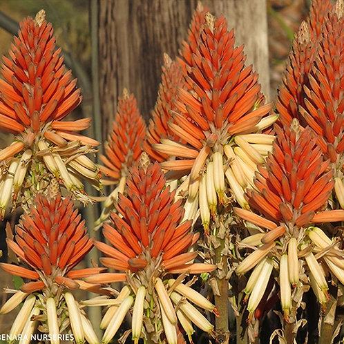 Aloe Mighty Sunset