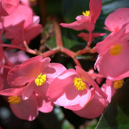 Begonia Dragon Wings Pink