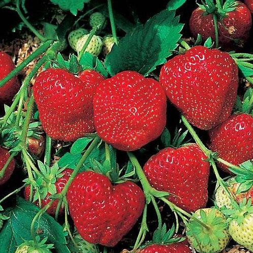 Strawberry Tioga