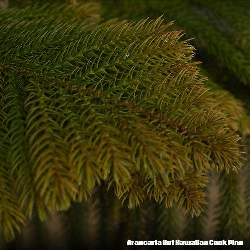 Araucaria Het Hawaiian Cook Pine