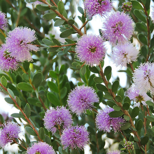 Showy Honey Myrtle