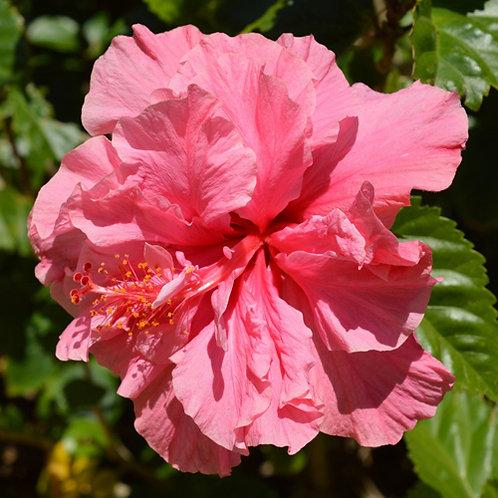 Hibiscus Mrs George Davies
