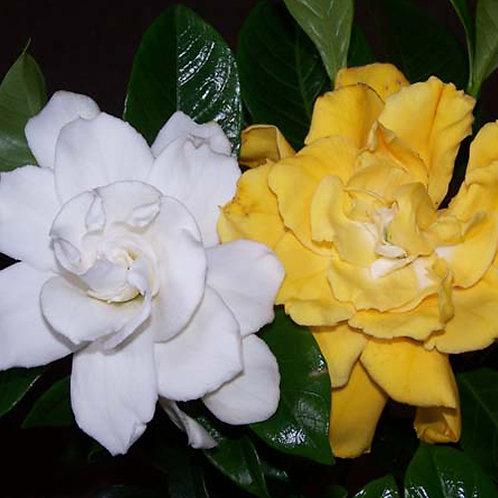 Gardenia White Gold