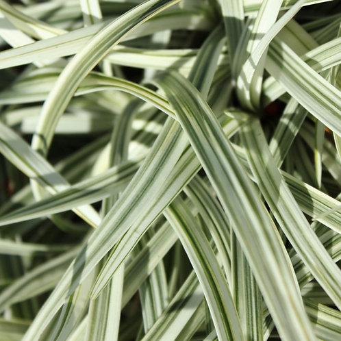 Liriope Silver Lawn