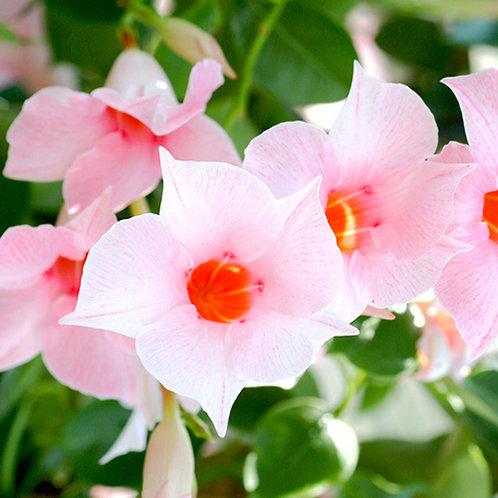 Mandevilla Classic Cream Pink