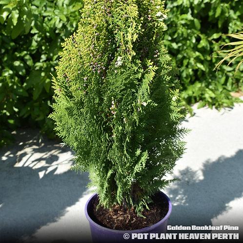 Golden Bookleaf Pine