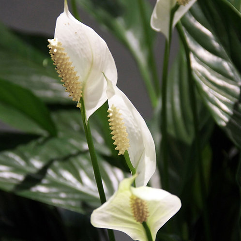 Spathiphyllum Sweet Chico Peace Lilly