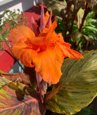 A Canna can be orange