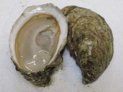 Barnstable Oysters