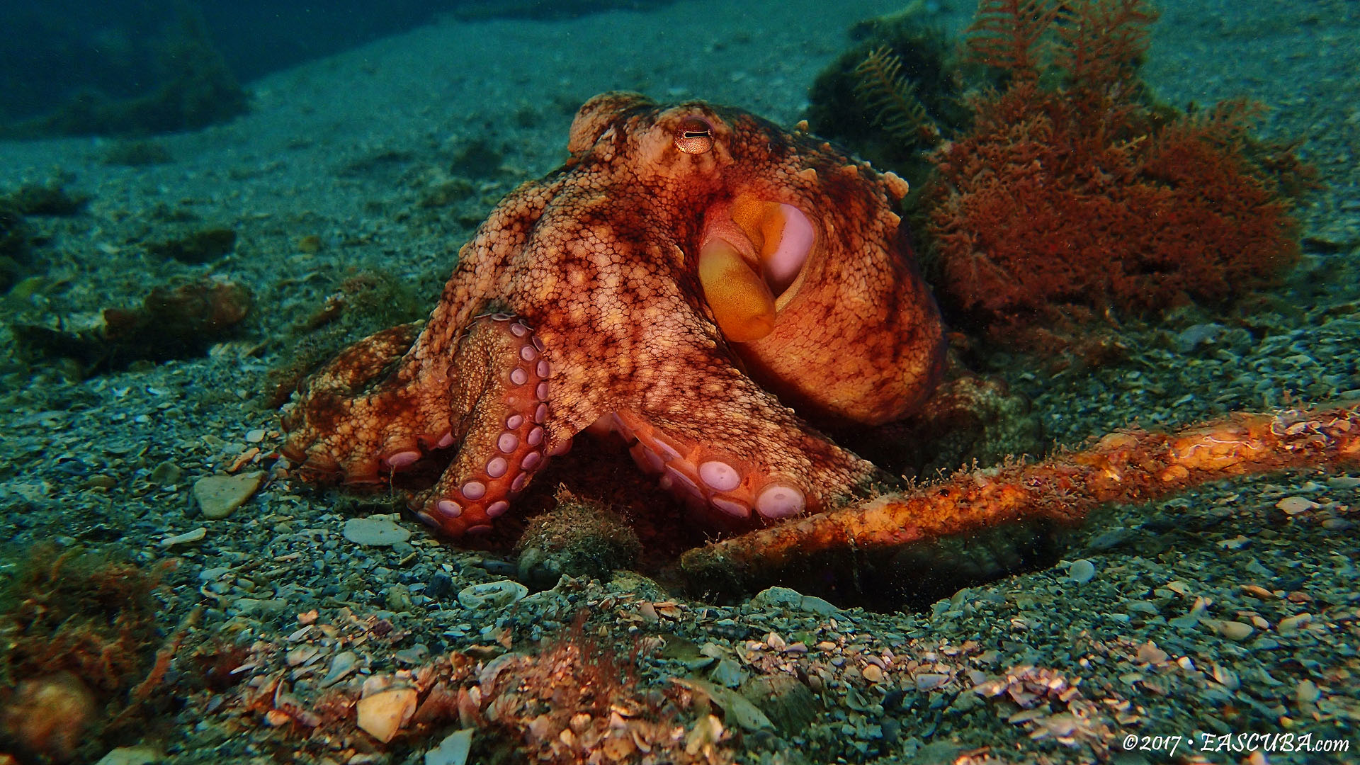 Octopus-10 eascuba17 [1280x720]