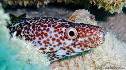 Spotted Moray Eel-3 eascuba [1280x720]