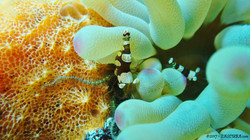 Shrimp eascuba17 [1280x720]
