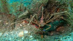 Arrow Crab-1 eascuba [1280x720]