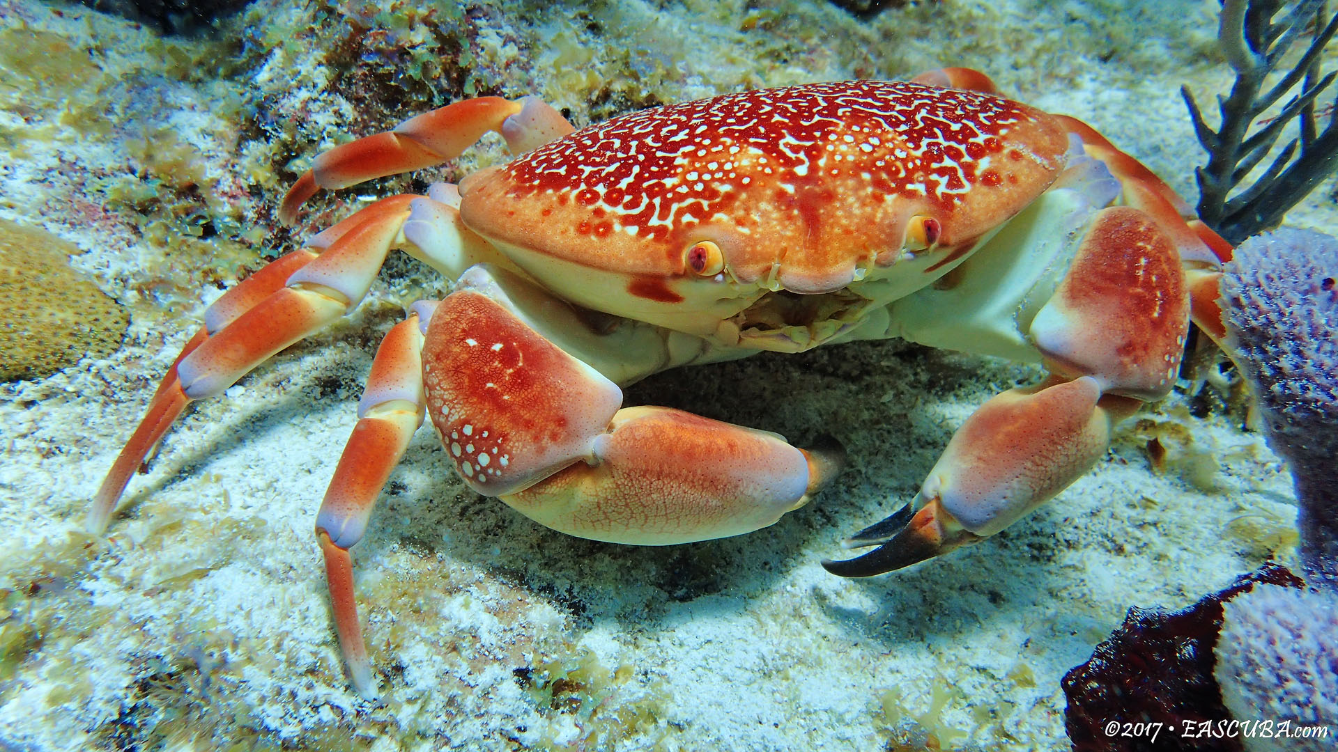 Orange Crab eascuba17 [1280x720]
