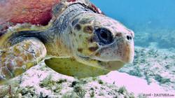 Logger Head Turtle eascuba [1280x720]