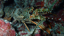 Spanish Lobster eascuba17 [1280x720]
