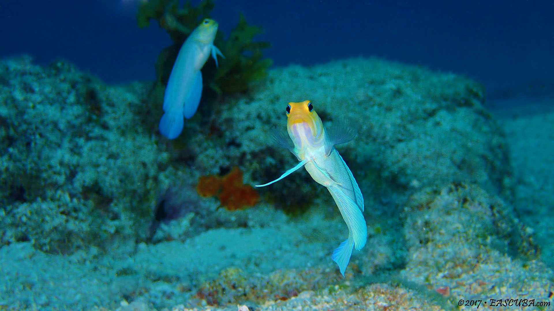 Yellow Head Jaw Fish eascuba17 [1280x720]