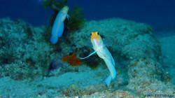 Yellow Head Jaw Fish eascuba17 [1280x720]