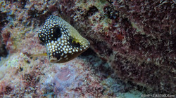 Smooth Trunk Fish-2 eascuba [1280x720]