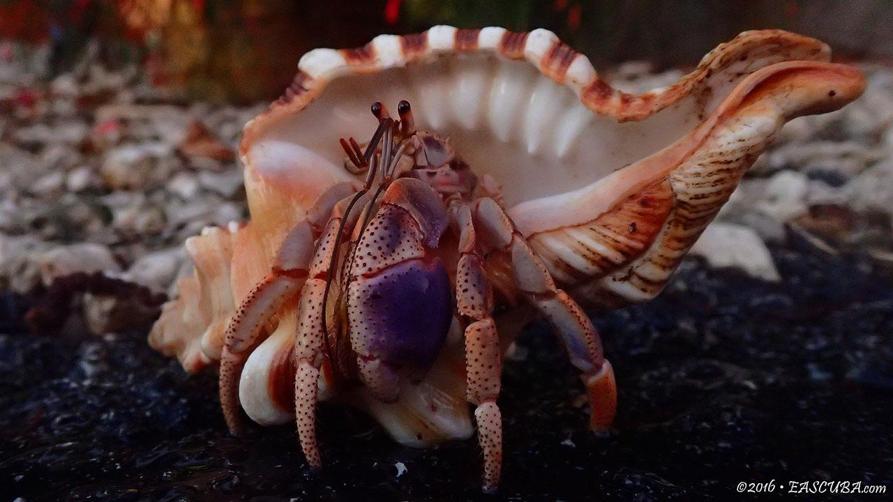 Hermit Crab eascuba [1280x720]