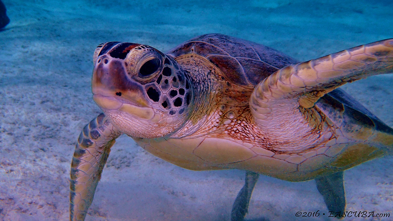 Sea Turtle eascuba [1280x720]